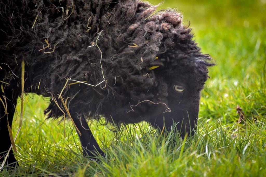 Schafe im Kindergarten